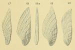 Planularia striata (d'Orbigny, 1826)