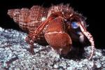 Elassochirus tenuimanus