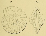 Polystomella angularis d'Orbigny, 1852