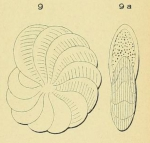 Polystomella lessonii d'Orbigny, 1839