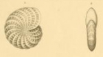 Polystomella lessonii d'Orbigny, 1839