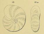 Polystomella oceanensis d'Orbigny in Fornasini, 1904