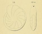 Robulina marginata d'Orbigny, 1852