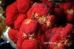 Tanystylum grossifemorum