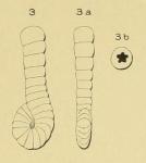 Spirolina laevigata d'Orbigny, 1850