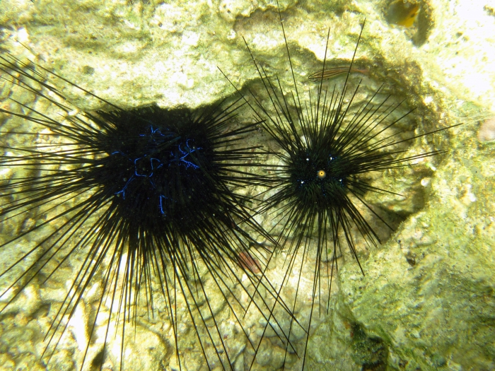 Diadema savignyi (left) compared with D. setosum (right)