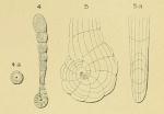 Spirolina pedum d'Orbigny, 1850