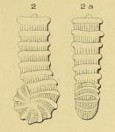 Spirolina striata d'Orbigny, 1850