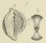 Spiroloculina angulosa Terquem, 1878, author: Le Coze, Fran�ois