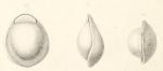 Biloculina labiata Schlumberger, 1891