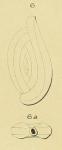 Spiroloculina lyra d'Orbigny, 1852