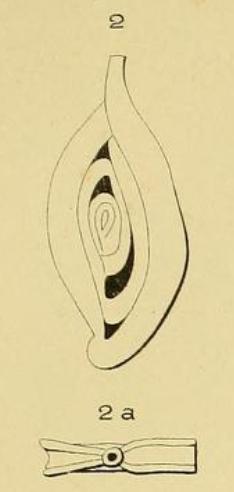 Spiroloculina perforata d'Orbigny in Guérin-Méneville, 1832