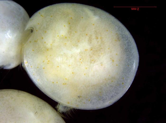 Cylindroleberididae