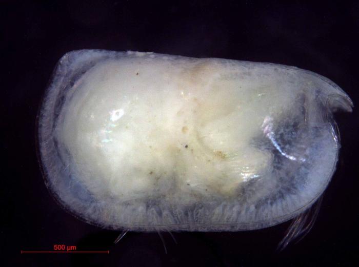 Conchoecia hyalophyllum
