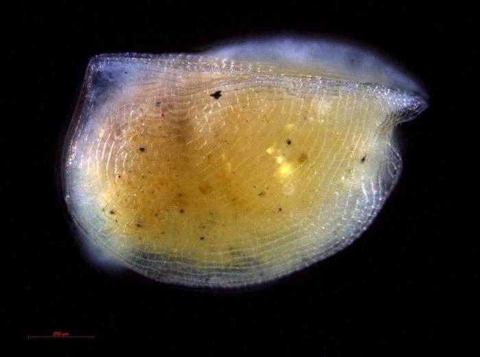 Mikroconchoecia