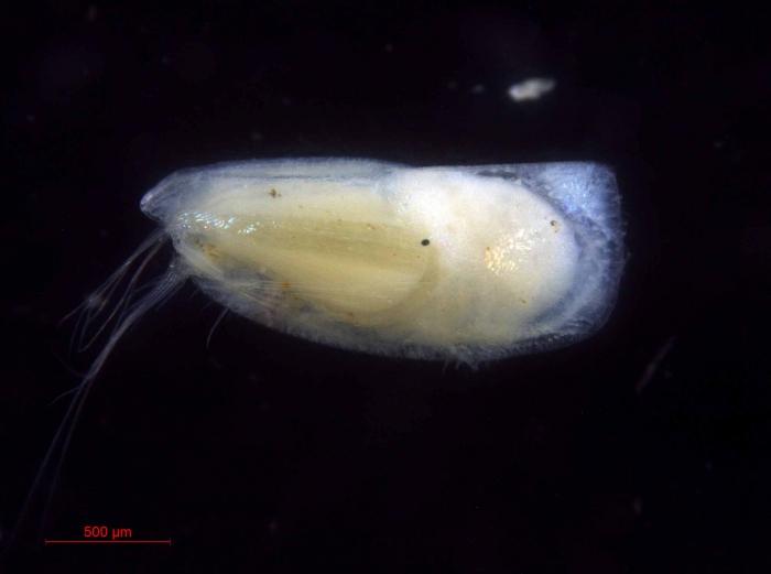 Discoconchoecia elegans