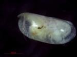 Obtusoecia obtusata