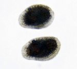 Loxoconcha japonica