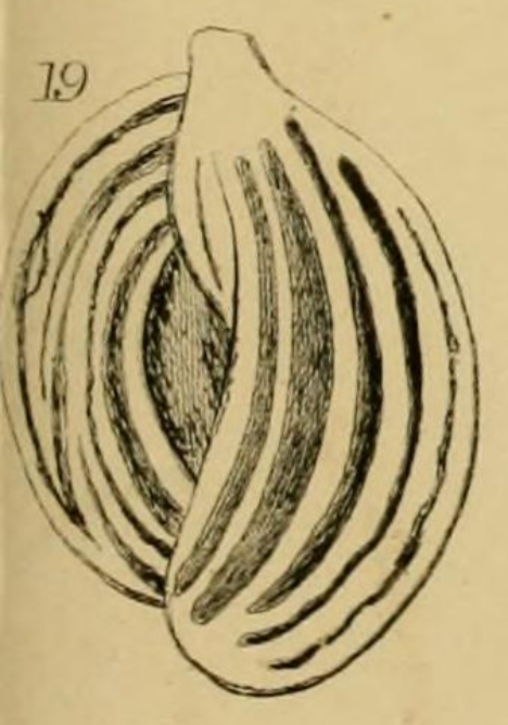 Quinqueloculina pulchella d'Orbigny, 1826