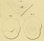 Valvulina rawackensis d'Orbigny in Fornasini, 1904