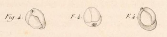 Miliolites trigonula Lamarck, 1804