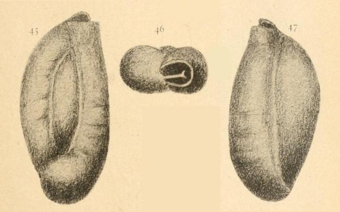 Triloculina lecalvezae Kaasschieter, 1961