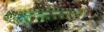 Eviota smaragdus
