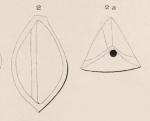 Triloculina angularis d'Orbigny, 1850