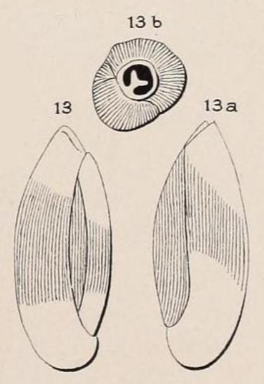 Triloculina cylindrica d'Orbigny, 1852