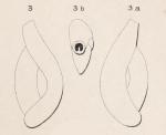 Triloculina dubia d'Orbigny in Fornasini, 1905