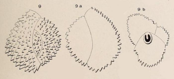 Triloculina echinata d'Orbigny in Fornasini, 1905
