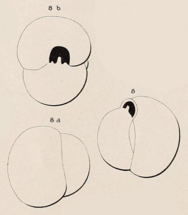 Triloculina flavescens d'Orbigny in Fornasini, 1905