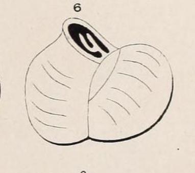 Triloculina inflata d'Orbigny, 1826