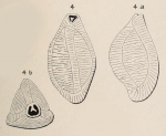 Triloculina maurini d'Orbigny in Fornasini, 1905