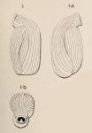 Triloculina reversa d'Orbigny, 1852