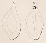 Triloculina rugosa d'Orbigny in Fornasini, 1905, author: Le Coze, Fran�ois