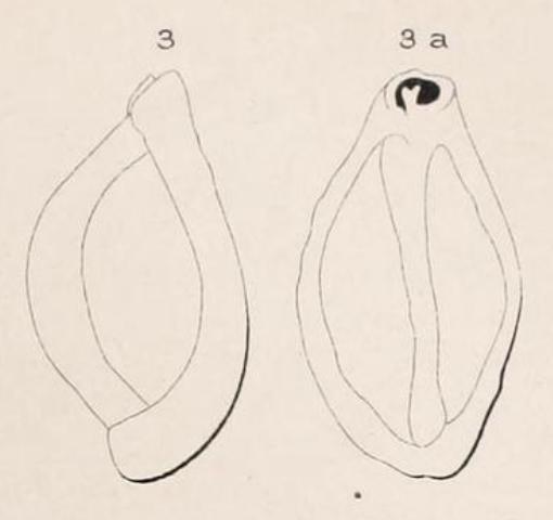 Triloculina rugosa d'Orbigny in Fornasini, 1905
