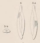 Quinqueloculina birostris (Lamarck, 1804)