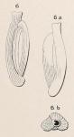 Quinqueloculina costata d'Orbigny in Terquem, 1878