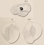 Quinqueloculina crassa d'Orbigny, 1850