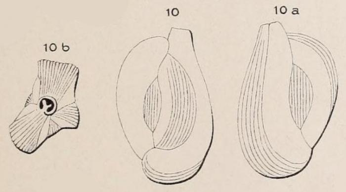 Quinqueloculina disparilis d'Orbigny in Schlumberger, 1893