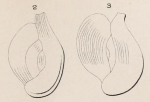 Quinqueloculina elegans d'Orbigny in Terquem, 1878