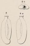 Quinqueloculina laevigata d'Orbigny, 1839