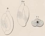 Quinqueloculina parisiensis d'Orbigny, 1850 †