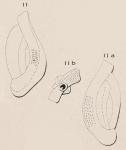 Quinqueloculina punctulata d'Orbigny, 1850