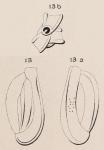 Quinqueloculina rugosa d'Orbigny, 1852