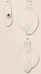Quinqueloculina semistriata d'Orbigny, 1850