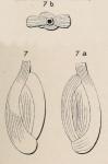 Quinqueloculina striata d'Orbigny in Guérin-Méneville, 1832