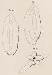 Quinqueloculina variabilis d'Orbigny in Fornasini, 1905