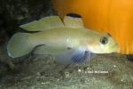 Rhinogobiops nicholsii
